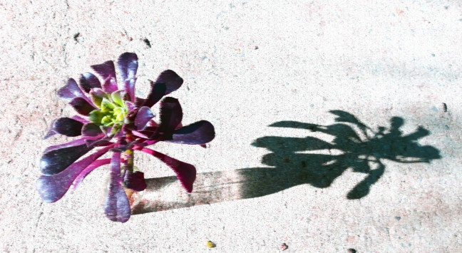 succulent shadow